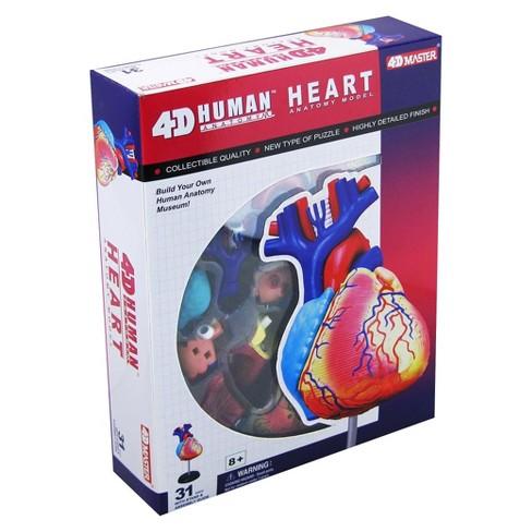 John N Hansen Human Heart Anatomy Model 30 31pc Target