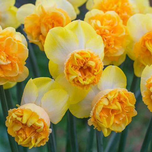 8ct Daffodils Art Perfume Bulbs - Van Zyverden - image 1 of 4
