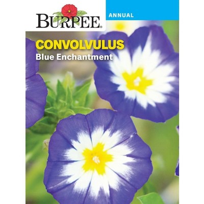 BURPEE Convolvulus Blue Enchantment