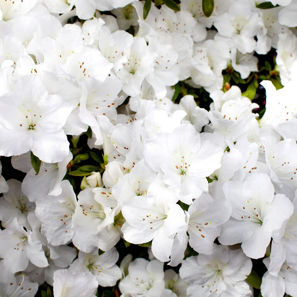 Encore Azalea Autumn 'Angel' 3gal U.S.D.A. Hardiness Zones 7-10 - 1pc - Cottage Hill, Green/White