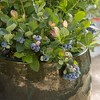 Bushel and Berry Blueberry 'Pink Icing' 1pc U.S.D.A. Hardiness Zones 5 - 10 National Plant Network 2.5qt - image 3 of 4