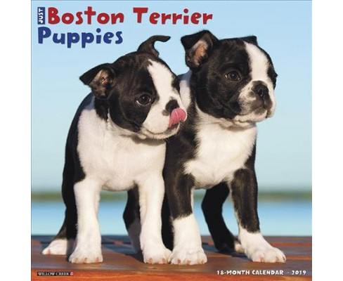 Just Boston Terrier Puppies 2019 Calendar -  (Paperback) - image 1 of 1
