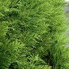 Arborvitae 'Green Giant' U.S.D.A. Hardiness Zones 5-8 Cottage Hill - image 3 of 3