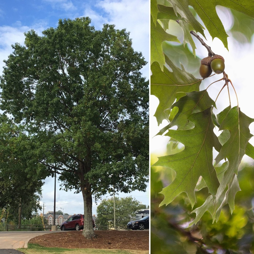 Image of 2.25gal Nutall Oak Tree - National Plant Network