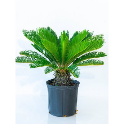 "10"" King Sago Palm Plant - National Plant Network"