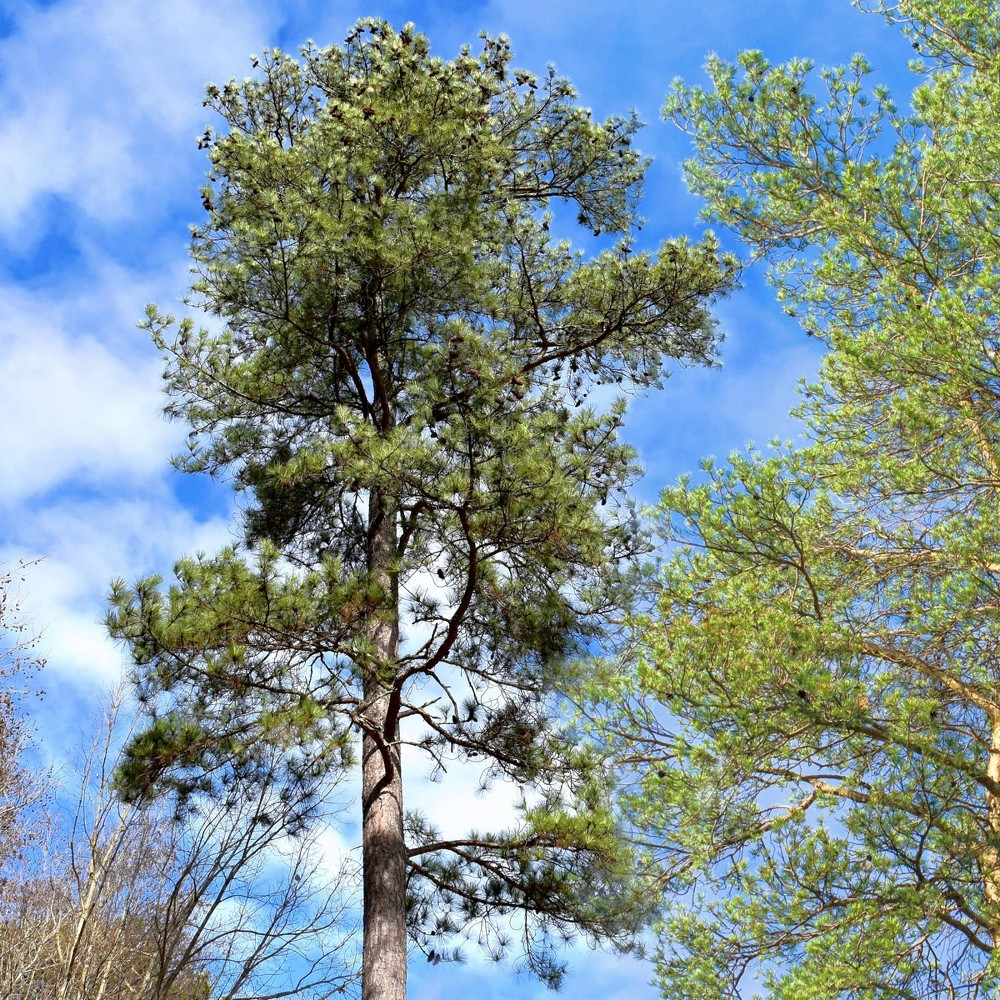 Image of 2.25gal Loblolly Pine Tree - National Plant Network