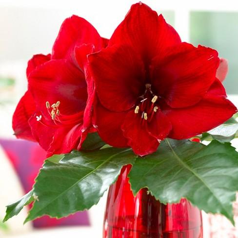 Amaryllis Economy Red Lion Set of 3 Bulb - Red - Van Zyverden - image 1 of 3