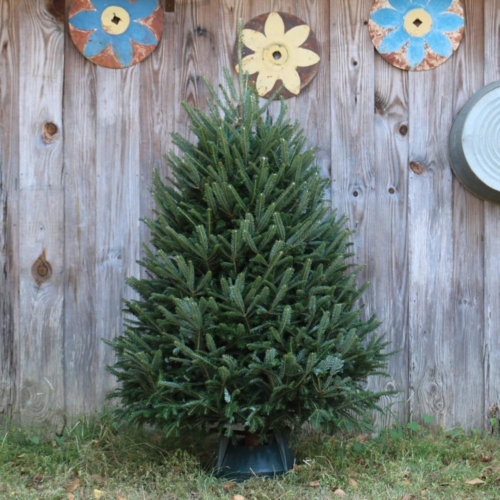 Image of Live Fraser Fir Fresh Cut Christmas Tree - Cottage Hill Nursery