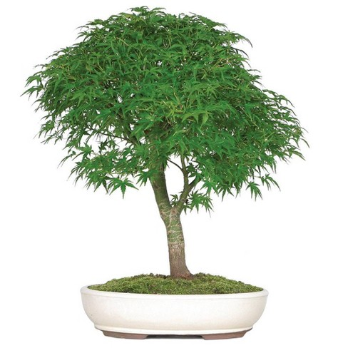 2XL Japanese Maple 'Sharp's Pygmy' Outdoor Live Plant - Brussel's Bonsai - image 1 of 1