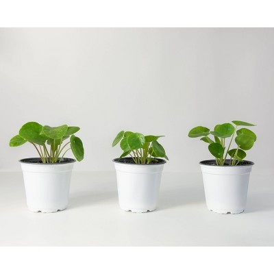 3pc Chinese Money Plant - National Plant Network