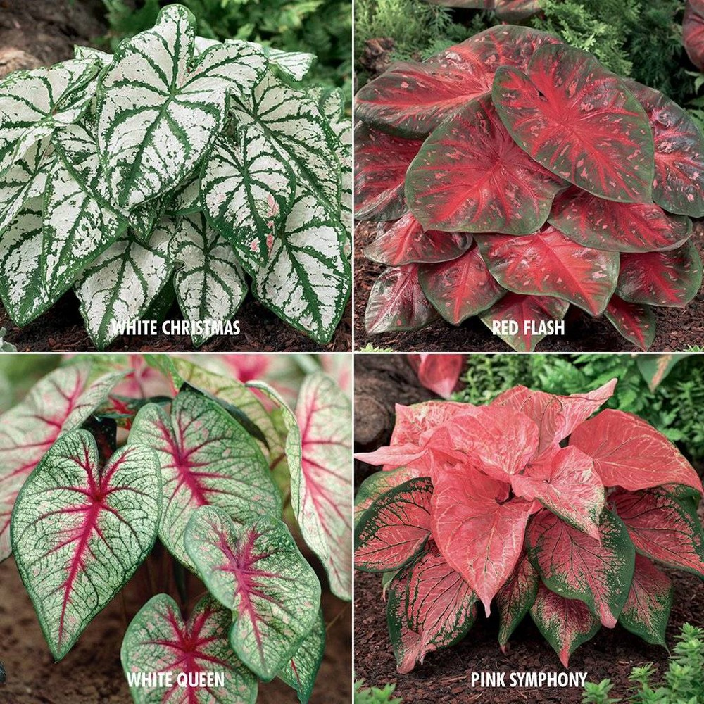 Image of 24ct Bulbs - Caladiums Collection - 4 Varieties - Van Zyverden