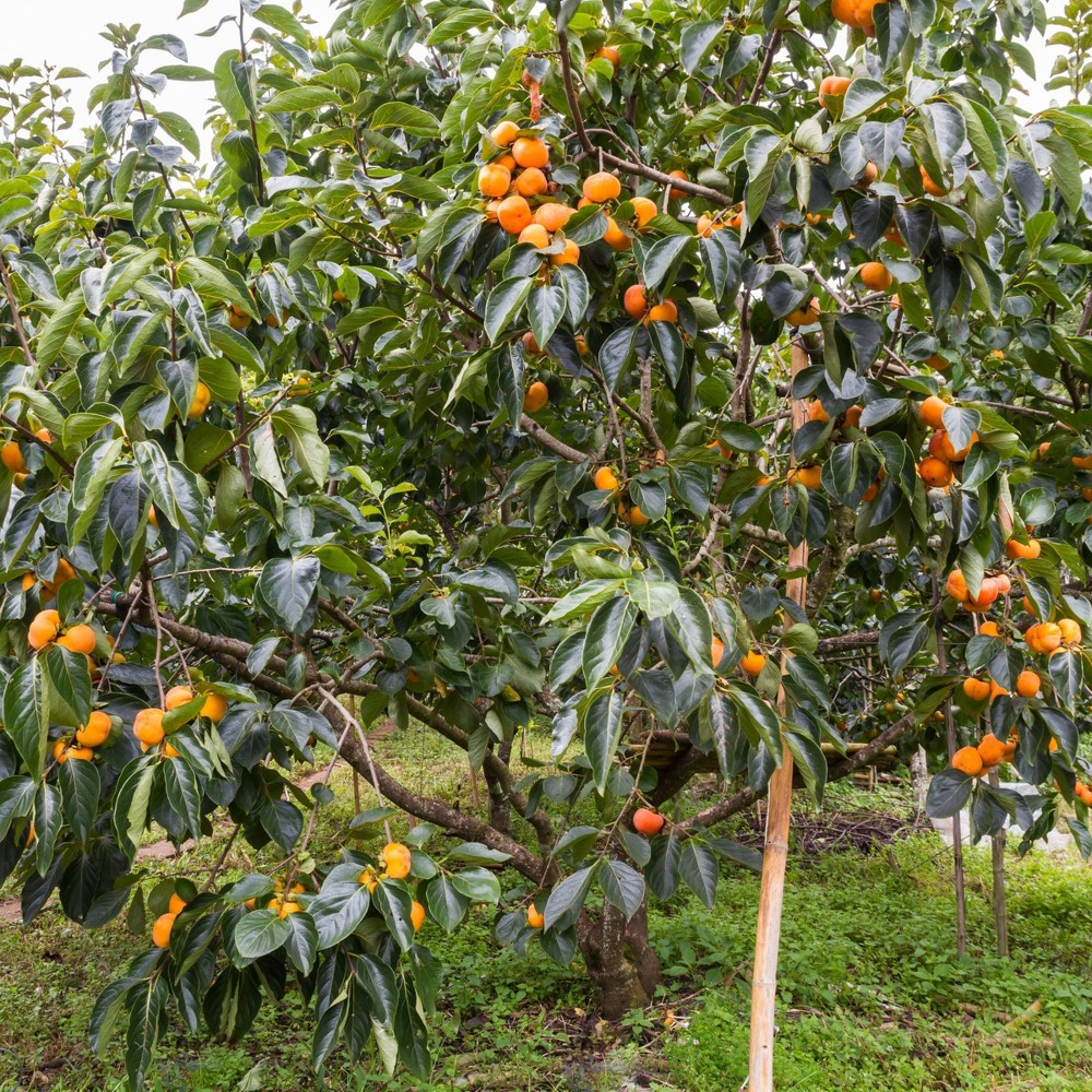 Image of 2.25gal Native Persimmon Tree - National Plant Network