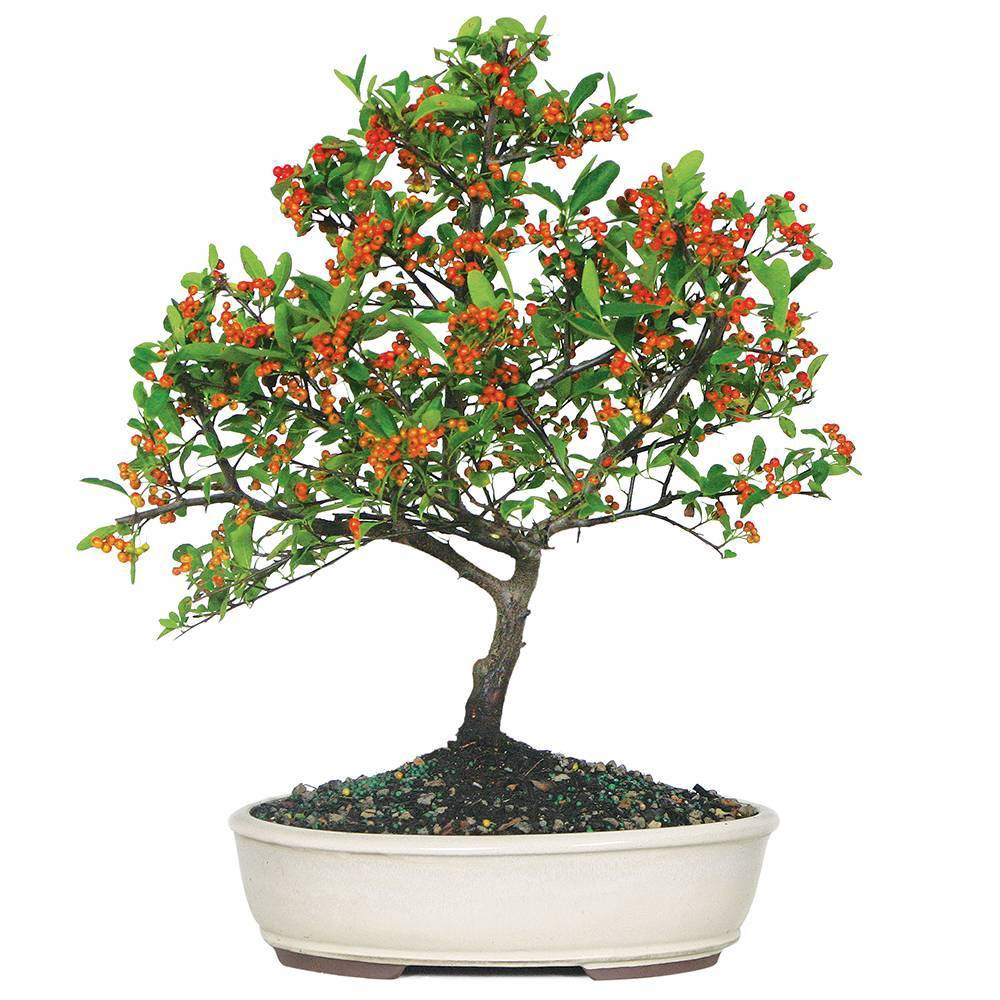 Image of Large Dwarf Pyracantha Outdoor Live Plant - Brussel's Bonsai
