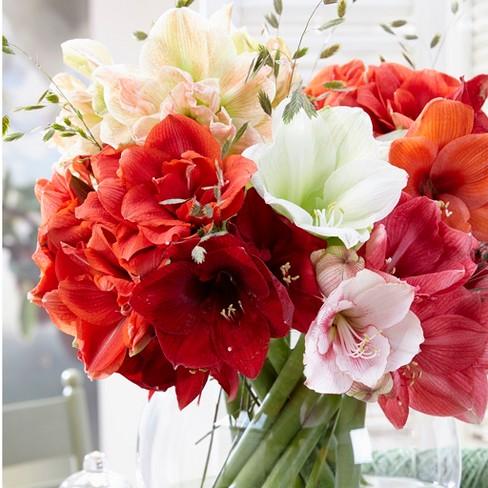 Amaryllis Economy Mixed Set of 5 bulbs - Van Zyverden - image 1 of 3