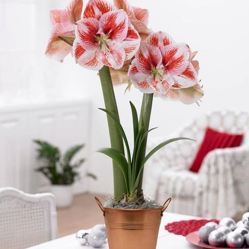 Amaryllis Kit Popov with Artisan Decorative Planter - Van Zyverden - image 1 of 4