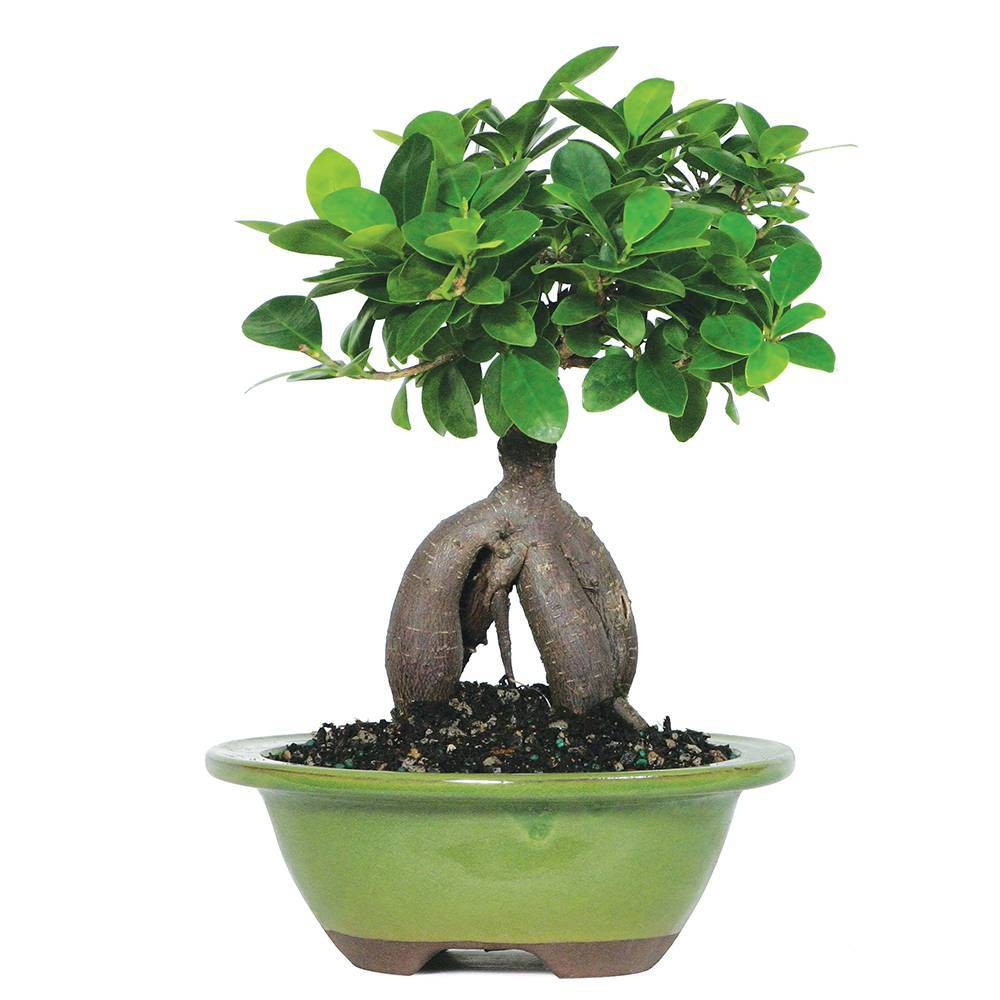 Image of Small Ginseng Grafted Ficus Indoor Live Houseplant - Brussel's Bonsai