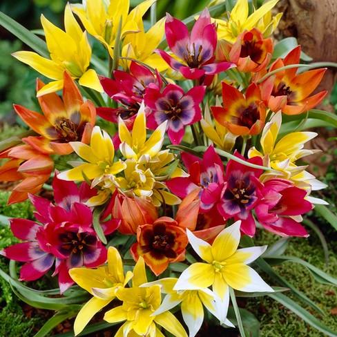 Tulips Perennial Mixture Set Of 100 Bulbs Van Zyverden Target