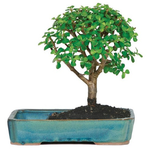 Large Jade in Land Water Pot Indoor Live Houseplant - Brussel's Bonsai - image 1 of 1