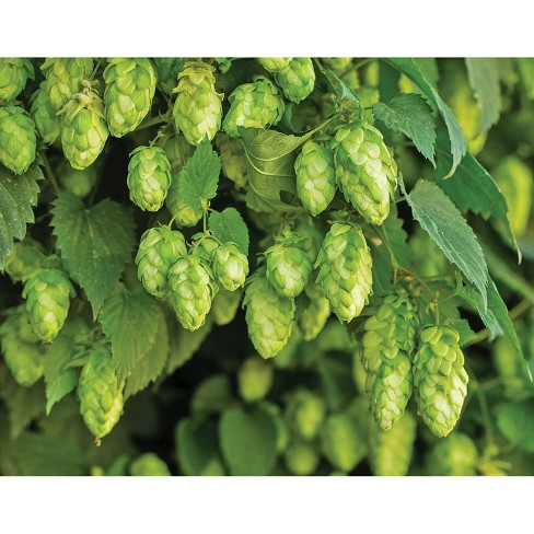 3pc Humulus Nugget - National Plant Network - image 1 of 1
