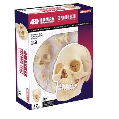 4D Human Skull Anatomy Model