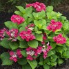 2.5qt Cherry Explosion Hydrangea with Red Blooms - National Plant Network - image 2 of 3