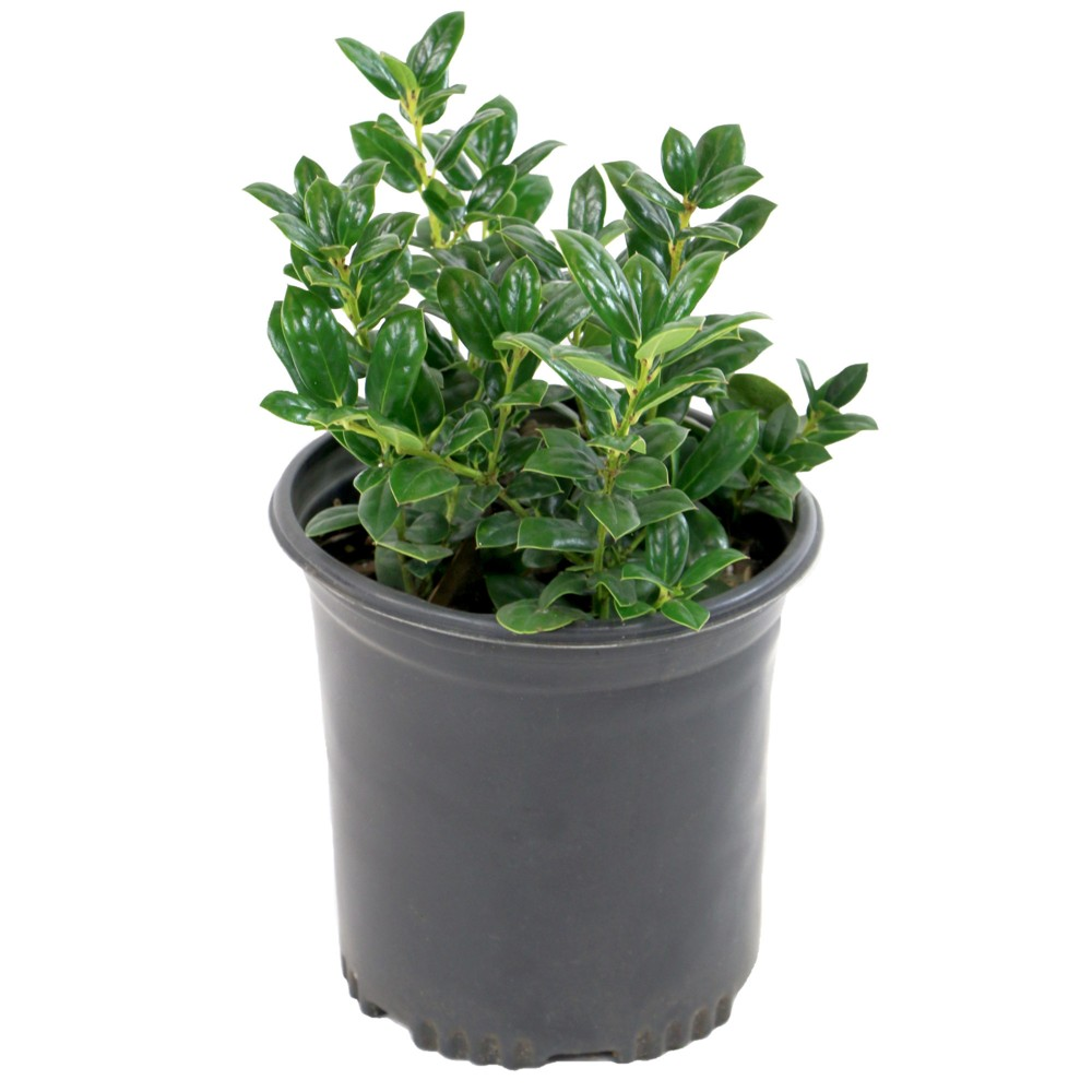 Image of Holly 'Dwarf Burford' 1pc U.S.D.A. Hardiness Zones 7-9 National Plant Network 2.5qt