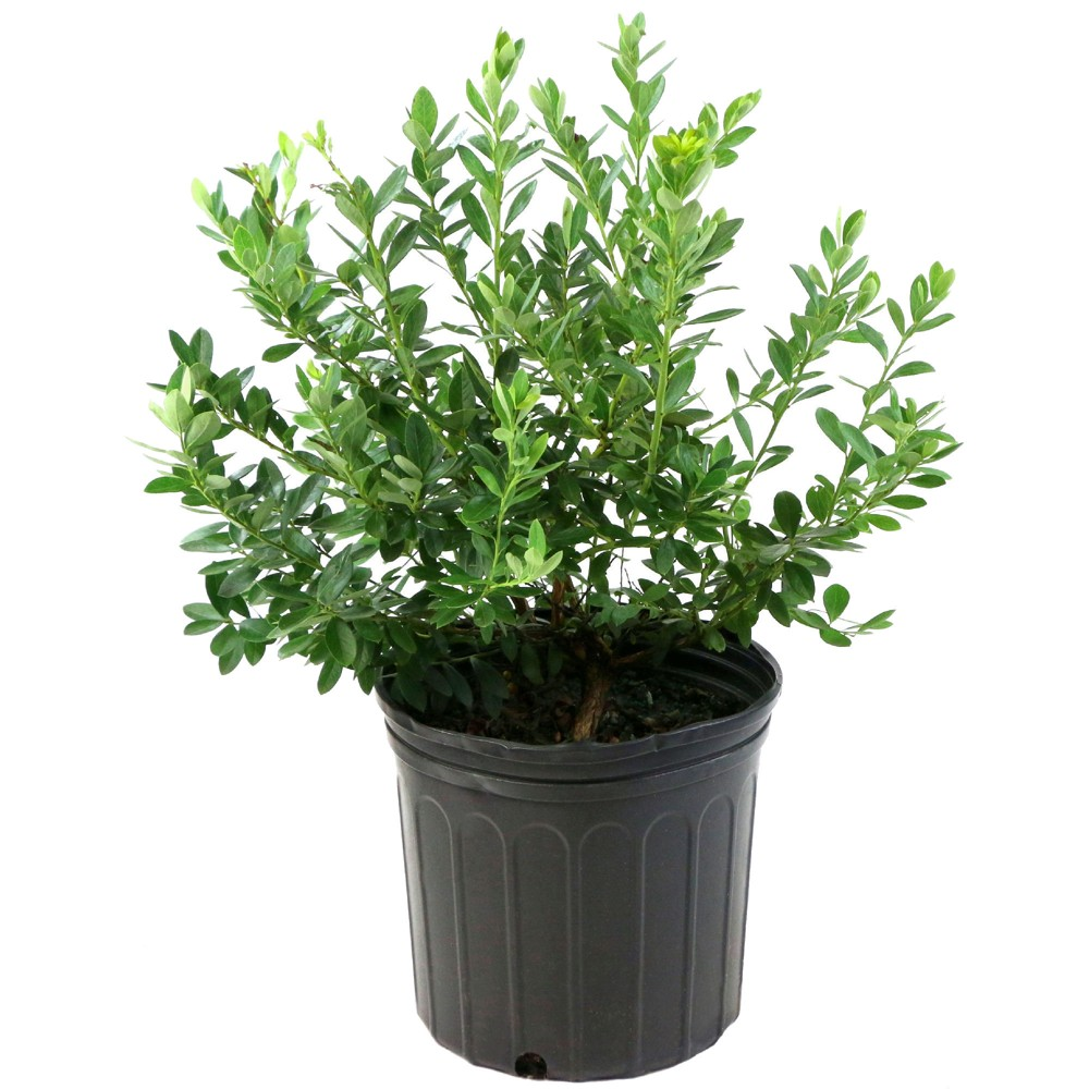 Image of Blueberry 'Top Hat' 1pc U.S.D.A. Hardiness Zones 3-7 National Plant Network 2.25gal