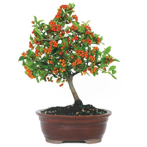 Medium Dwarf Pyracantha Outdoor Live Plant Brussel S Bonsai Target