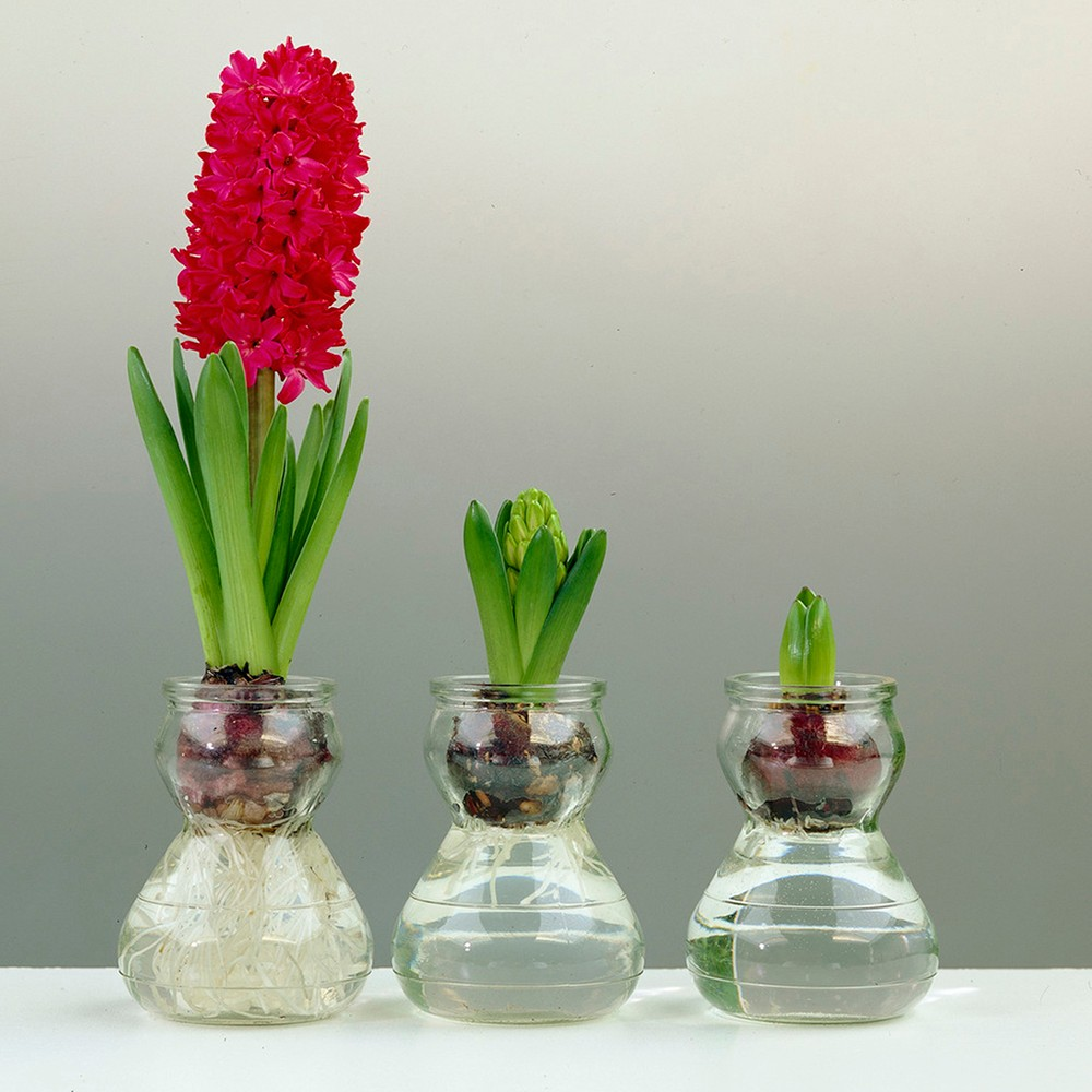 Hyacinth Kit With Clear Artisan Glass - Red - Van Zyverden