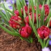 Crocus Small Talk Red - Set of 12 Bulbs - Van Zyverden - image 2 of 4