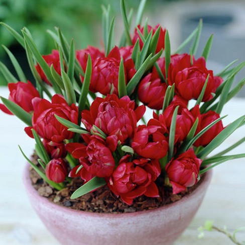 Crocus Small Talk Red - Set of 12 Bulbs - Van Zyverden - image 1 of 4