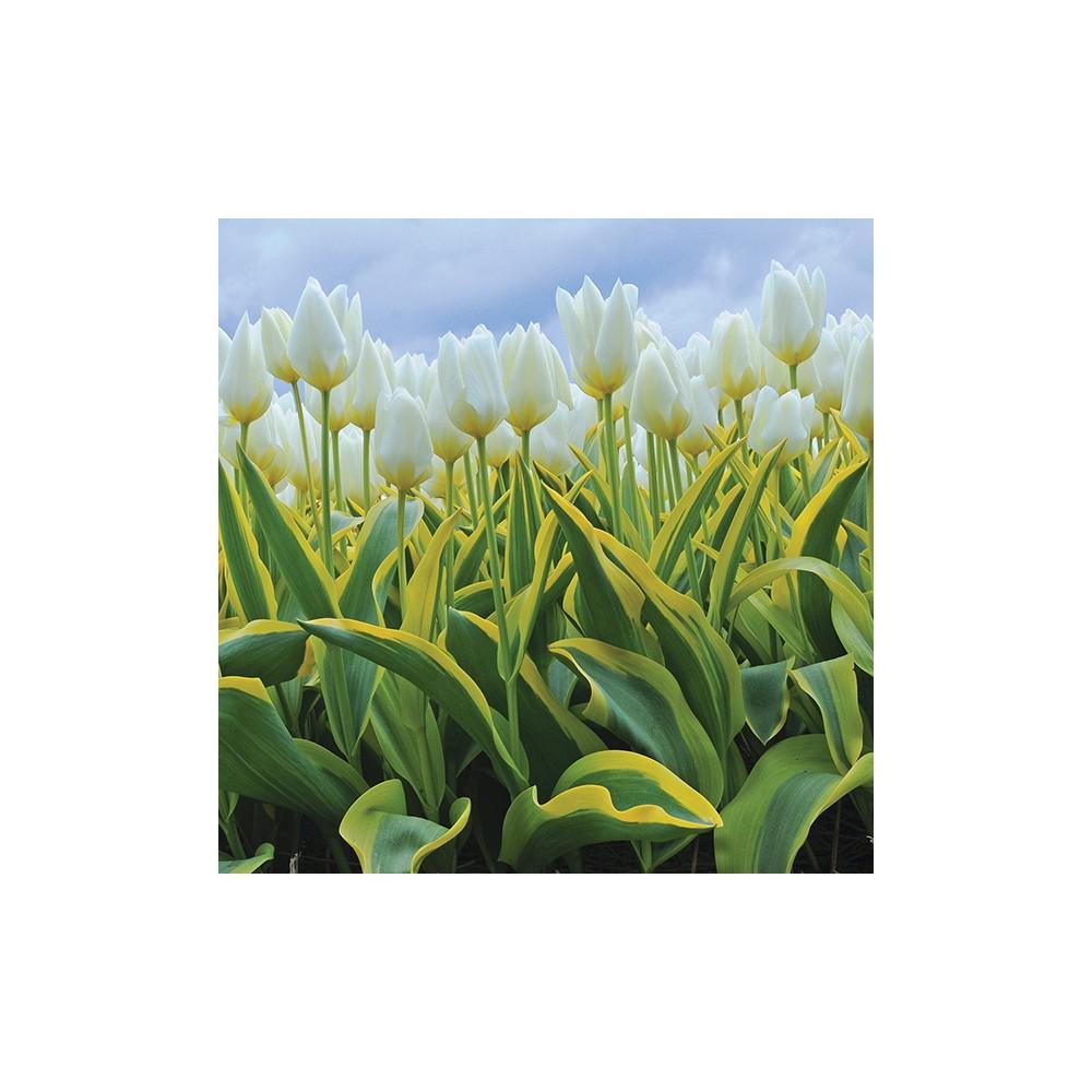 Tulips Purissima Blonde - Set of 12 Bulbs - Van Zyverden