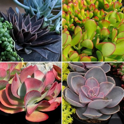 4pc Succulent Collector's Edition - National Plant Network