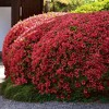 2.5qt Girard Crimson Azalea Plant with Red Blooms - National Plant Network - image 2 of 2