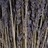 "Vickerman 12-18"" Lavender Lavender, preserved - image 3 of 4"