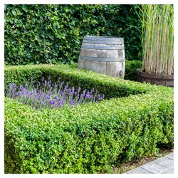 Boxwood 'Wintergreen' U.S.D.A. Hardiness Zones 4-9 Cottage Hill