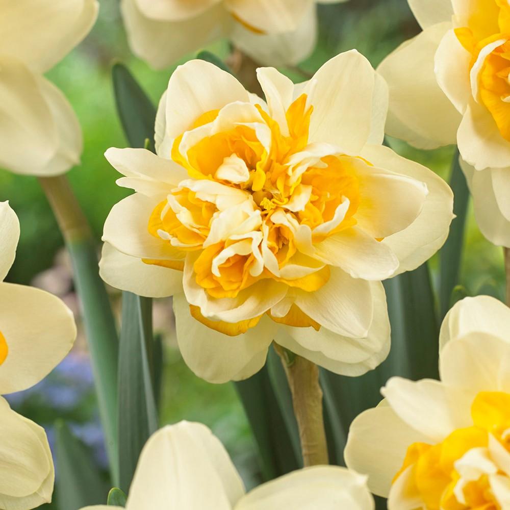 Daffodils Peach Cobbler Set of 12 Bulbs - Yellow/Orange - Van Zyverden