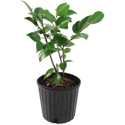 2.5qt Camellia Japonica Plant with White Blooms - National Plant Network - image 1 of 1