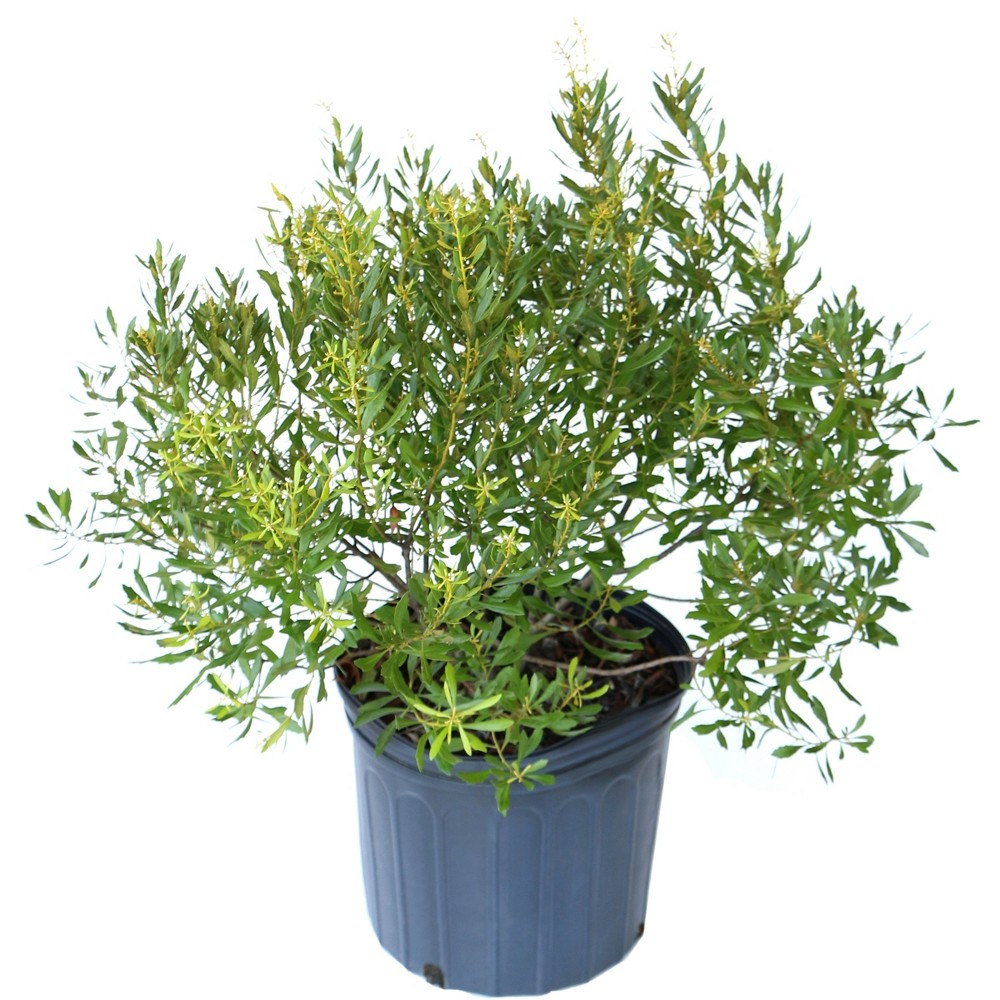 Image of Dwarf Wax Myrtle 2.25gal U.S.D.A. Hardiness Zones 7-9 - 1pc - National Plant Network
