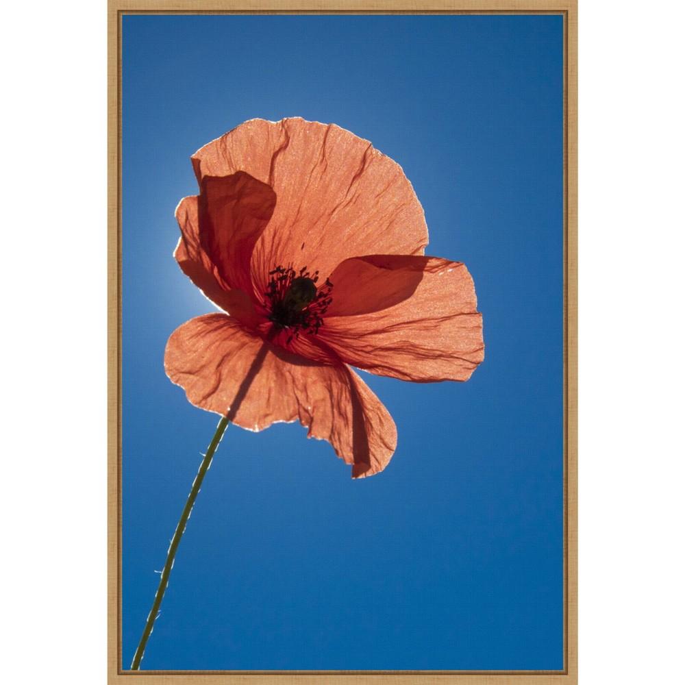16 34 X 23 34 Poppy Flower By Michele Niles Danita Delimont Framed Canvas Wall Art Blue Amanti Art