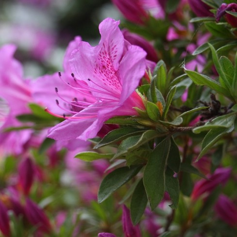 Encore Azalea Autumn 'Lilac' 3gal U.S.D.A. Hardiness Zones 6-10 - 1pc - Cottage Hill - image 1 of 2