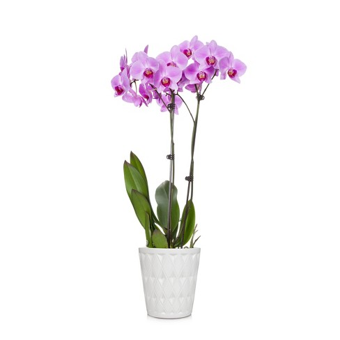 """5"""" Orchid & Ceramic Pot - Colors May Vary - image 1 of 1"""