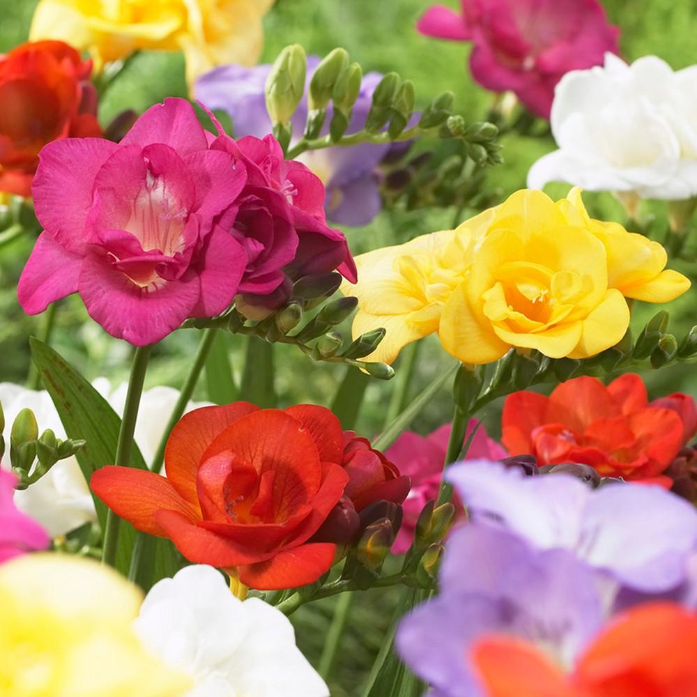 Freesias Double Blooming Mixed Set of 25 Bulbs - Van Zyverden