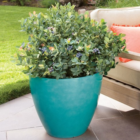 Bushel and Berry Blueberry 'Pink Icing' 1pc U.S.D.A. Hardiness Zones 5 - 10 National Plant Network 2.5qt - image 1 of 4