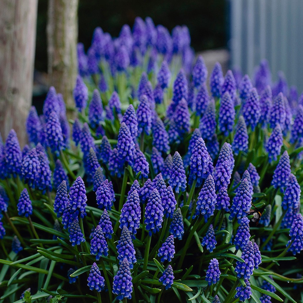 Grape Hyacinth Collection Set of 50 bulbs - Blue/Pink/Yellow - Van Zyverden