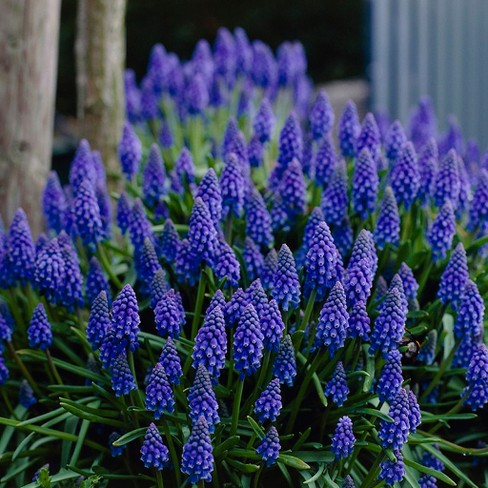 Grape Hyacinth Collection Set of 50 bulbs - Blue/Pink/Yellow - Van Zyverden - image 1 of 6