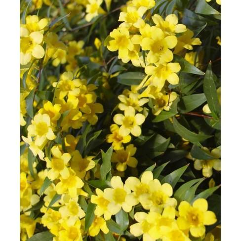 2.5qt Carolina Jessamine Plant Yellow Blooms - National Plant Network - image 1 of 3