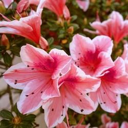 Encore Azalea Autumn 'Sunburst' 3gal U.S.D.A. Hardiness Zones 7-10 - 1pc - National Plant Network