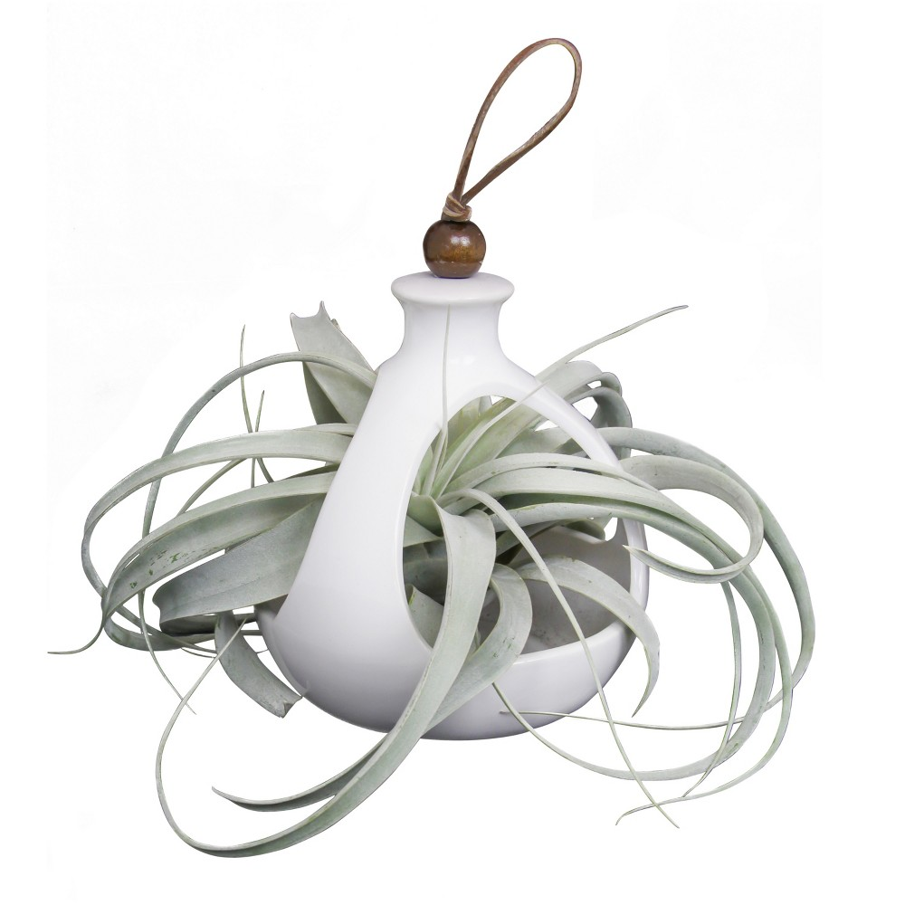 Image of Live Exotic Living Xerographica Air Plant In Decorative Hanging Container - Livetrends Design