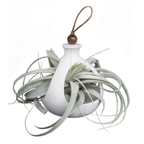 Live Exotic Living Xerographica Air Plant In Decorative Hanging Container - Livetrends Design - image 1 of 2